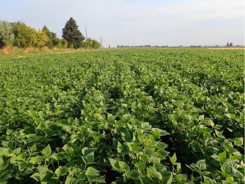 New dry edible bean plot
