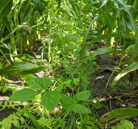 Cover crops interseeded in corn