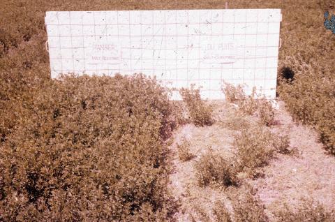 Ranger alfalfa plants