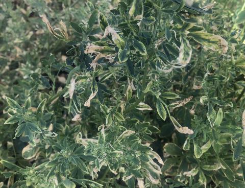 Weevil damaged alfalfa