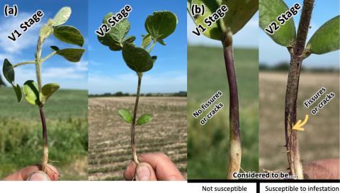 Soybean gall midge-injured field