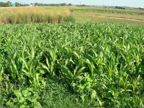 Corn forage