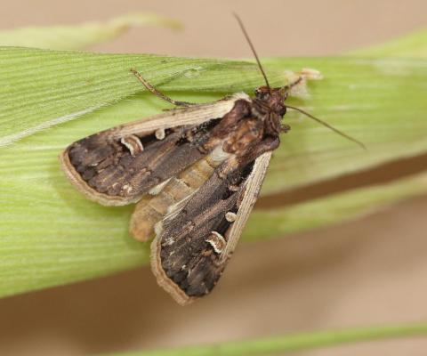 Western bean cutworm adult