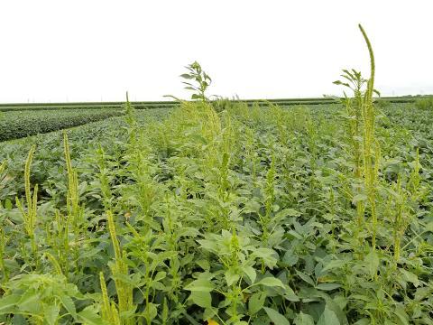 Palmer amaranth in soybeans