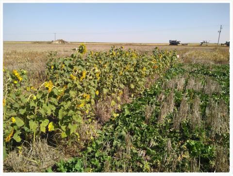Sunflower and turnip field