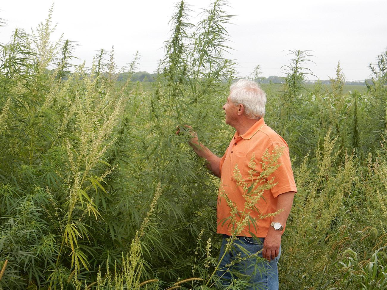 University of Nebraska-Lincoln researcher Ismail Dweikat examines industrial hemp being grown in eastern Nebraska research plots.